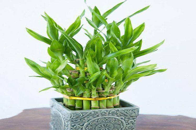 5 loại cây tốt cho phong thủy, rước về nhà tụ lộc gấp đôi-1