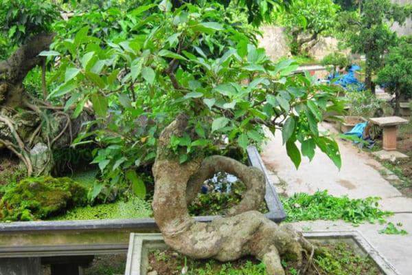 Giải mã ý nghĩa của cây Sung trong phong thủy