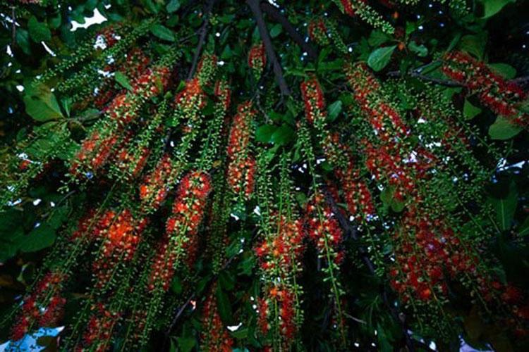 Ý nghĩa và cách trồng cây lộc vừng đẹp, hợp phong thủy-4