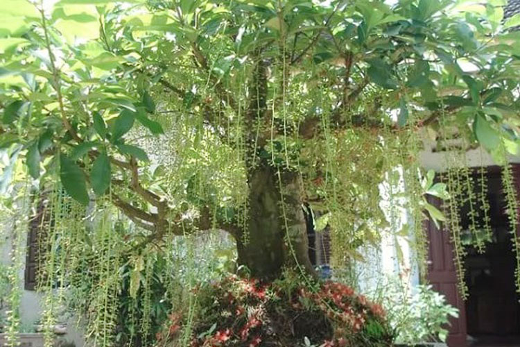 Ý nghĩa và cách trồng cây lộc vừng đẹp, hợp phong thủy-5